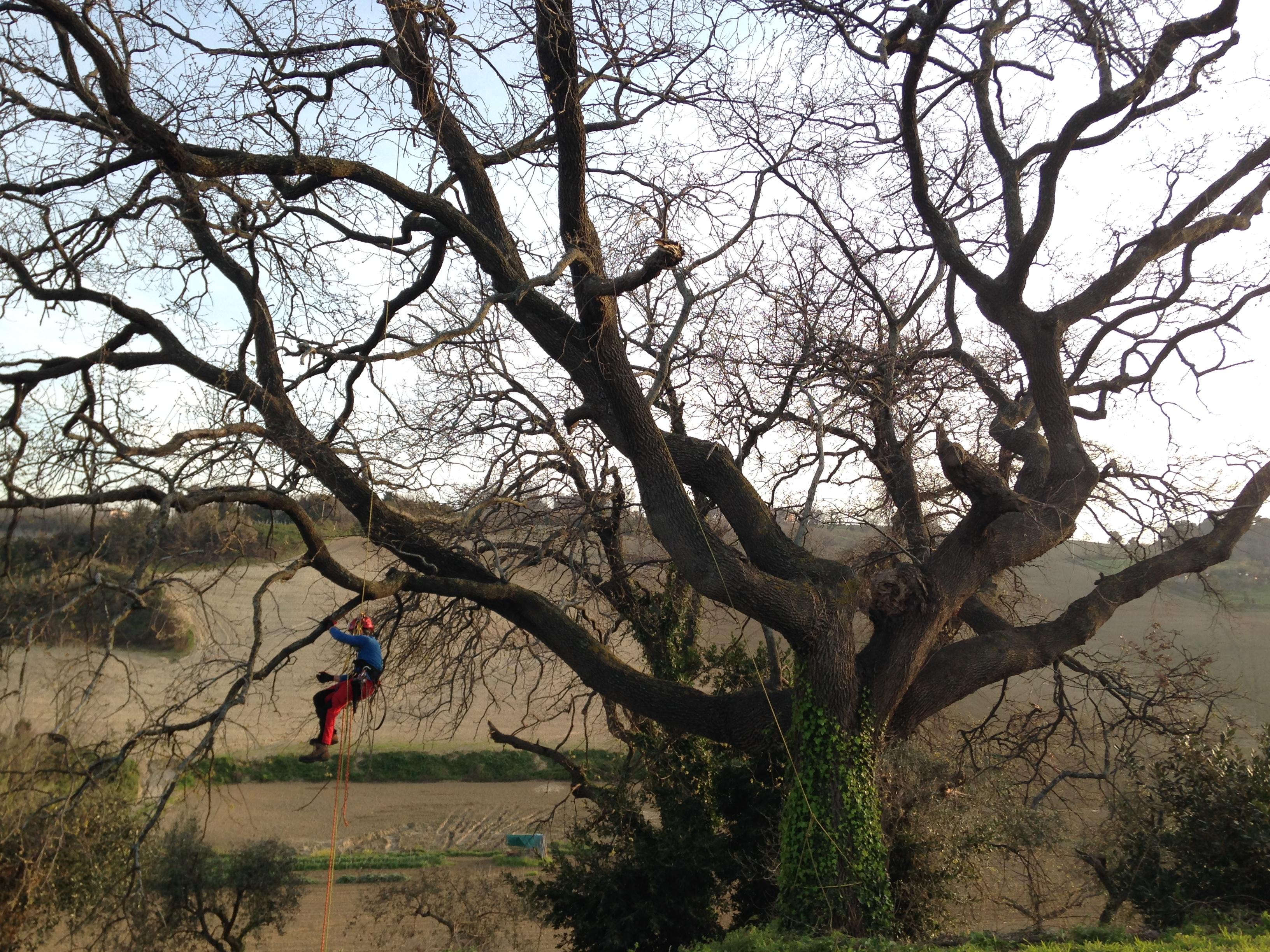 Periodo Migliore Per Potare Quercia potatura alberi in tree climbing (su corda) | treetec